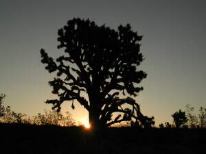 Joshua Tree at Sunrise in Mojave